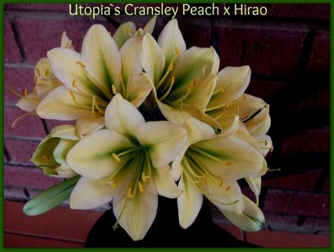 Cransley peach x Hiraoed_2