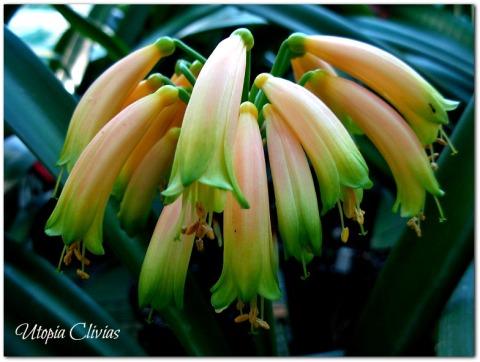 gardenii-pink-eded