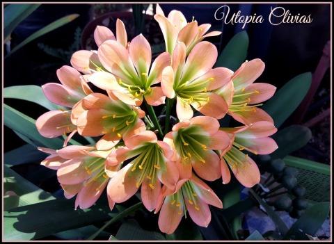 hirao-bronze-tip-cross-pollen-cw-ed
