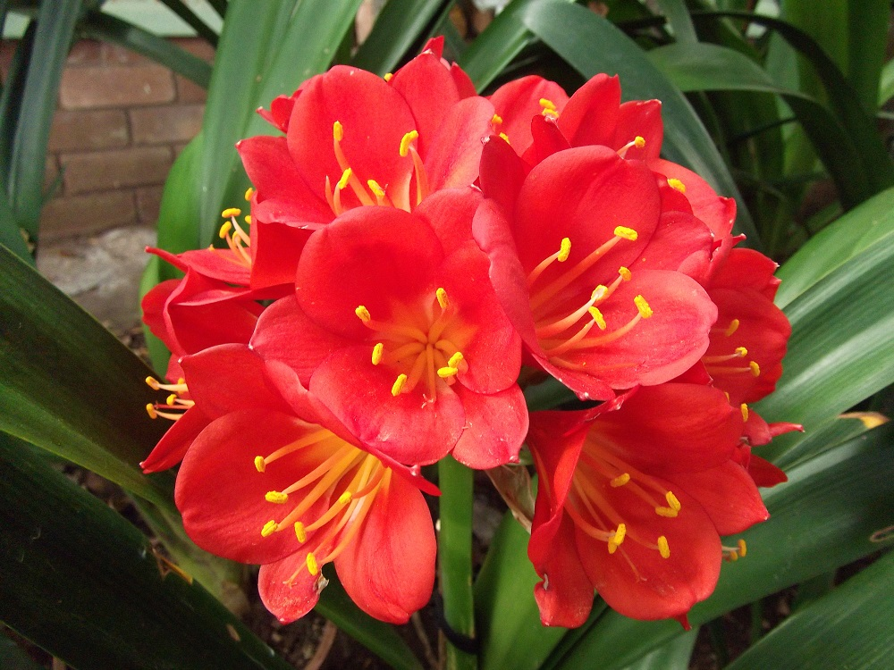 how to grow clivia from seed