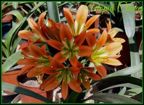 norman-star-bronzeeded-green-ed