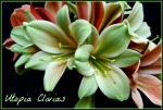 Clivia Seeds, Green, yellow, 777 and Star Green crosses