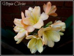 Clivia Seeds, Pink,  Peach and Pastel