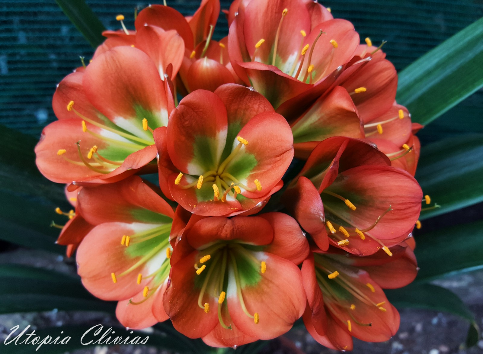 Clivia seeds Giants, Multi Tepals, Bella Donna Ophra and