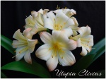 Clivia Seeds 2021 Ghost, Splash, Picotee and Bicolour