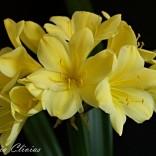chiba yellow