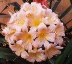 Clivia Seeds 2020 Pink,  Peach and Pastel