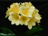 Myrcella BL Chinese yellow A